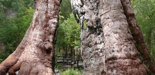 Bibbulmun Track Walpole Giant tingle