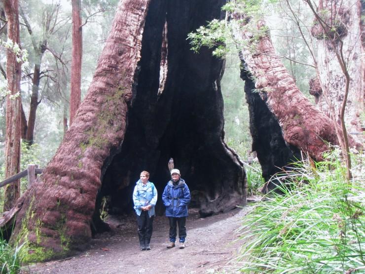 Tingle tree Walpole Bibbulmun Track