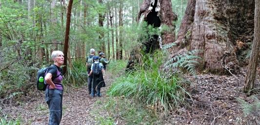 Tingle forest Walpole to Denmark Bibbulmun Track