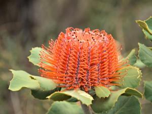Scarlet banksia Stirling Ranges