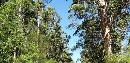 Bibbulmun Track Pemberton to Northcliffe Karri forest