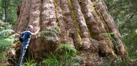 A giant tingle tree on the Bibbulmun Track, Walpole