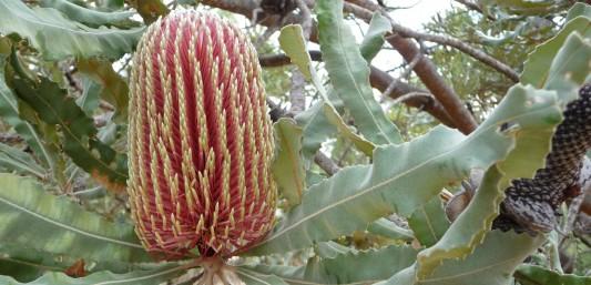 Day walks near Perth banksia