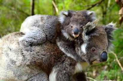 Koalas on the Great Ocean Walk