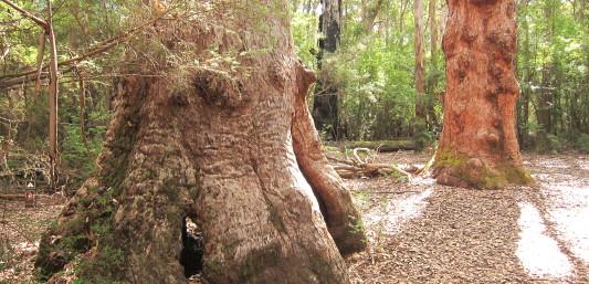 Gnarled old Tingle trees