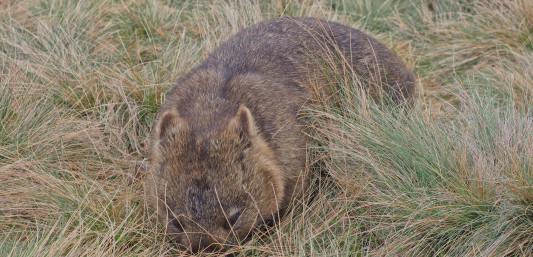 Wombat in Tasmania