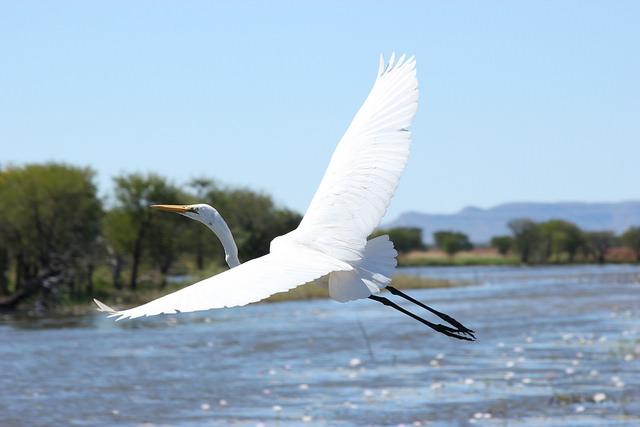 Egret in Kimberley
