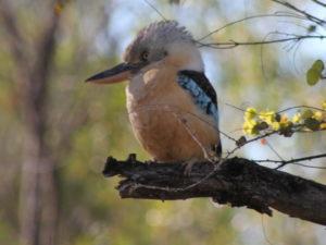 Bluewing Kookaburra in Kimberley